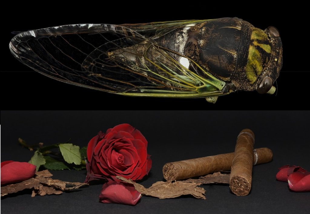 cicada, tobacco leaf, cicada origin, tobacco leaf filler, cigar, cigars, roses, cigar filler, rose, tobacco, leaf, bugs, cicadas, linguistic origin, cicada linguistic, tobacco linguistic