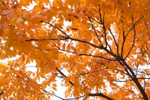 fall, autumn leaves, leaves, tree, plant, red, orange, cool, season